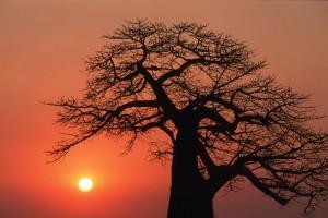 sa-baobab-close